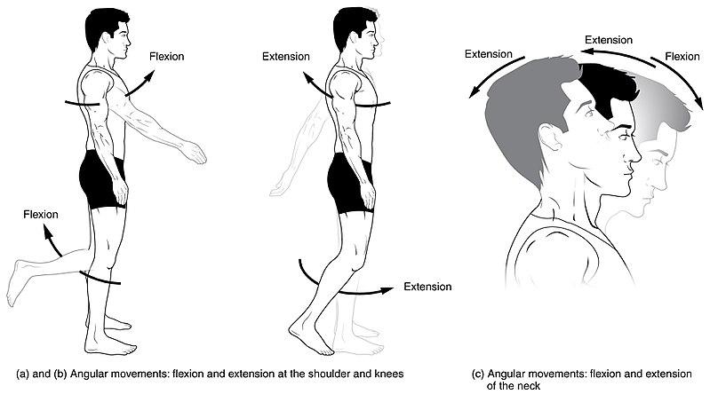 flexia articulațiilor genunchiului