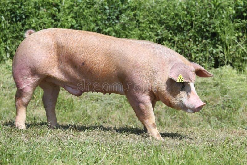 posibilitate boala porci - Page 3 - Forumul Softpedia