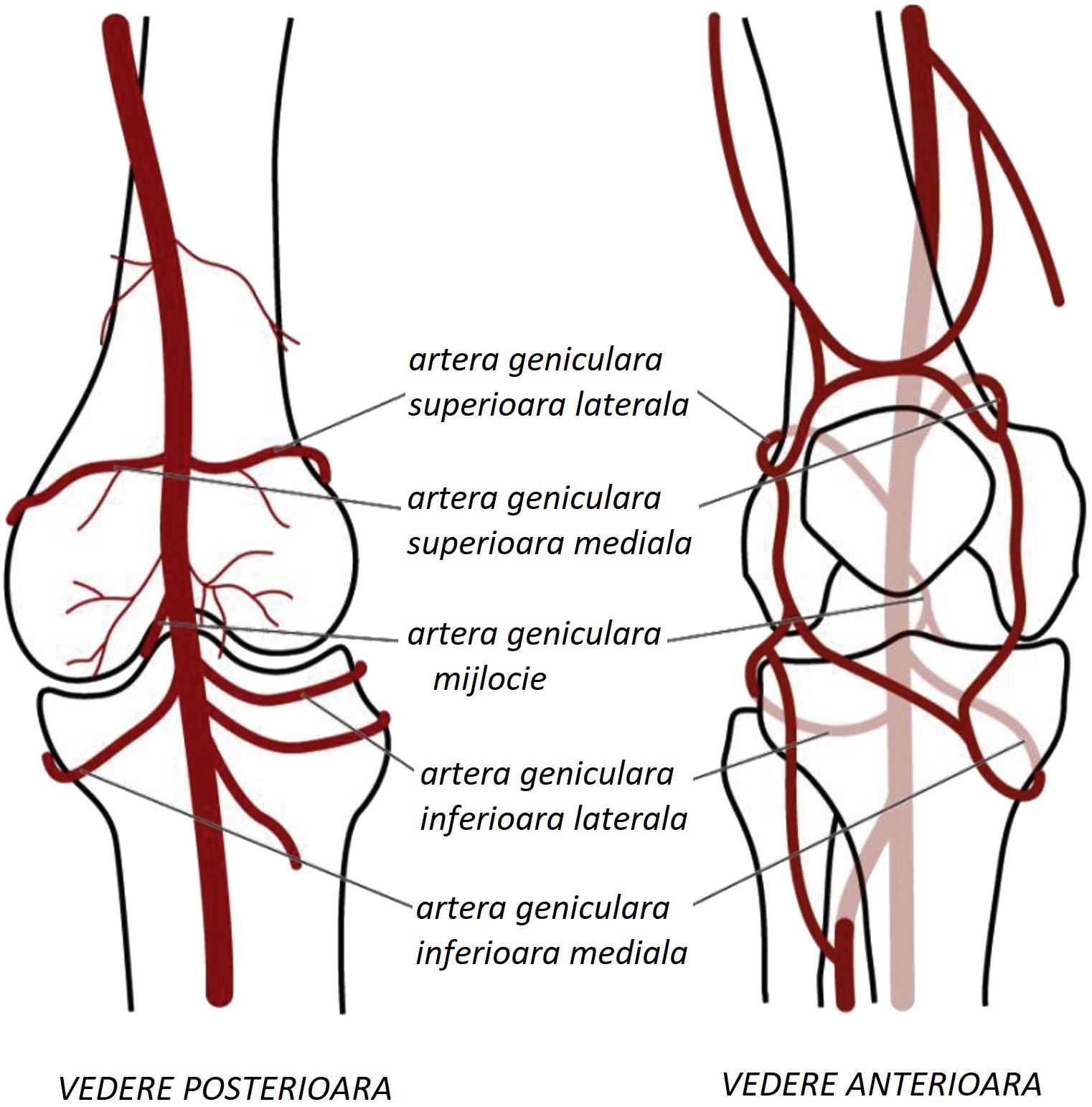 tratăm vasele articulației genunchiului artrita articulației vnch