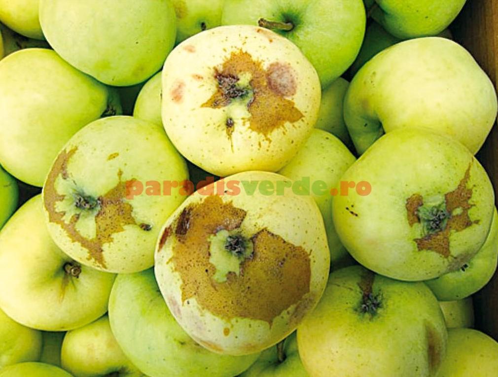 Tratamentul artrozei cu un măr adam - Mătase lui Adam: fotografie, scurtă descriere