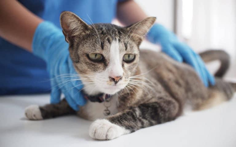 Hiperextensie carpică la pisici | Bolile și condițiile pisicilor