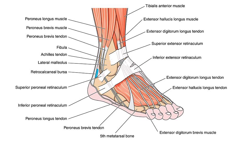 Deteriorarea ligamentelor în articulația gleznei
