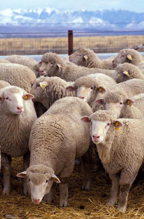 După porci, şi oile sunt afectate de o boală extrem de periculoasă. Daea: