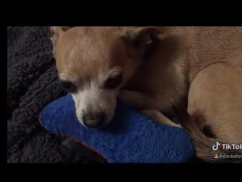 Chihuahua are dureri articulare
