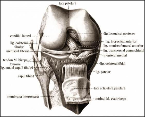 medicamente pentru repararea cartilajului genunchiului
