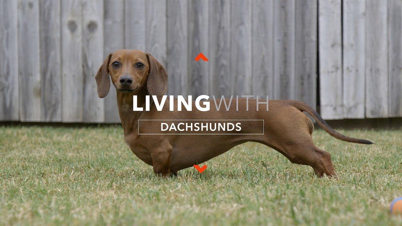 Boală articulară în dachshunds.