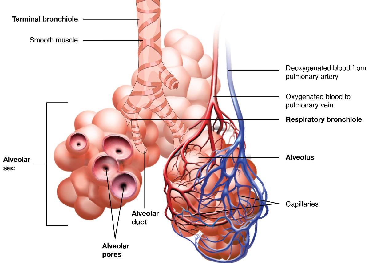 Tratamentul bronhiilor și articulațiilor Bronşiectaziile pe radiografia toracică