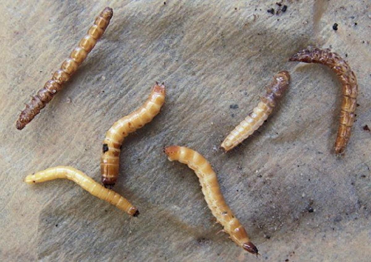 vierme de săgeată